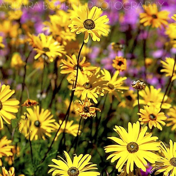 Flowers Yellow Daisies