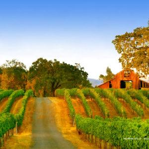 red barn in summer vineyards