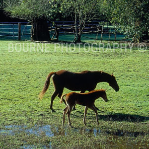 A mare &; her colt walk side by side, through a green pasture, wet with yesterday's rain, in Sonoma County, California.