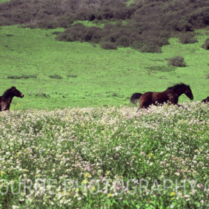 Three dark brown horses gallop through a field of wild flowers in the springtime, with the green hills of Northern California in the background.
