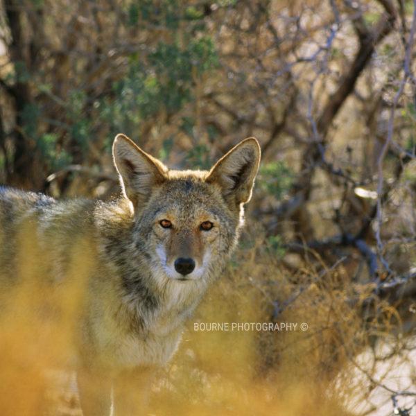 Coyote in Sedona Canyon