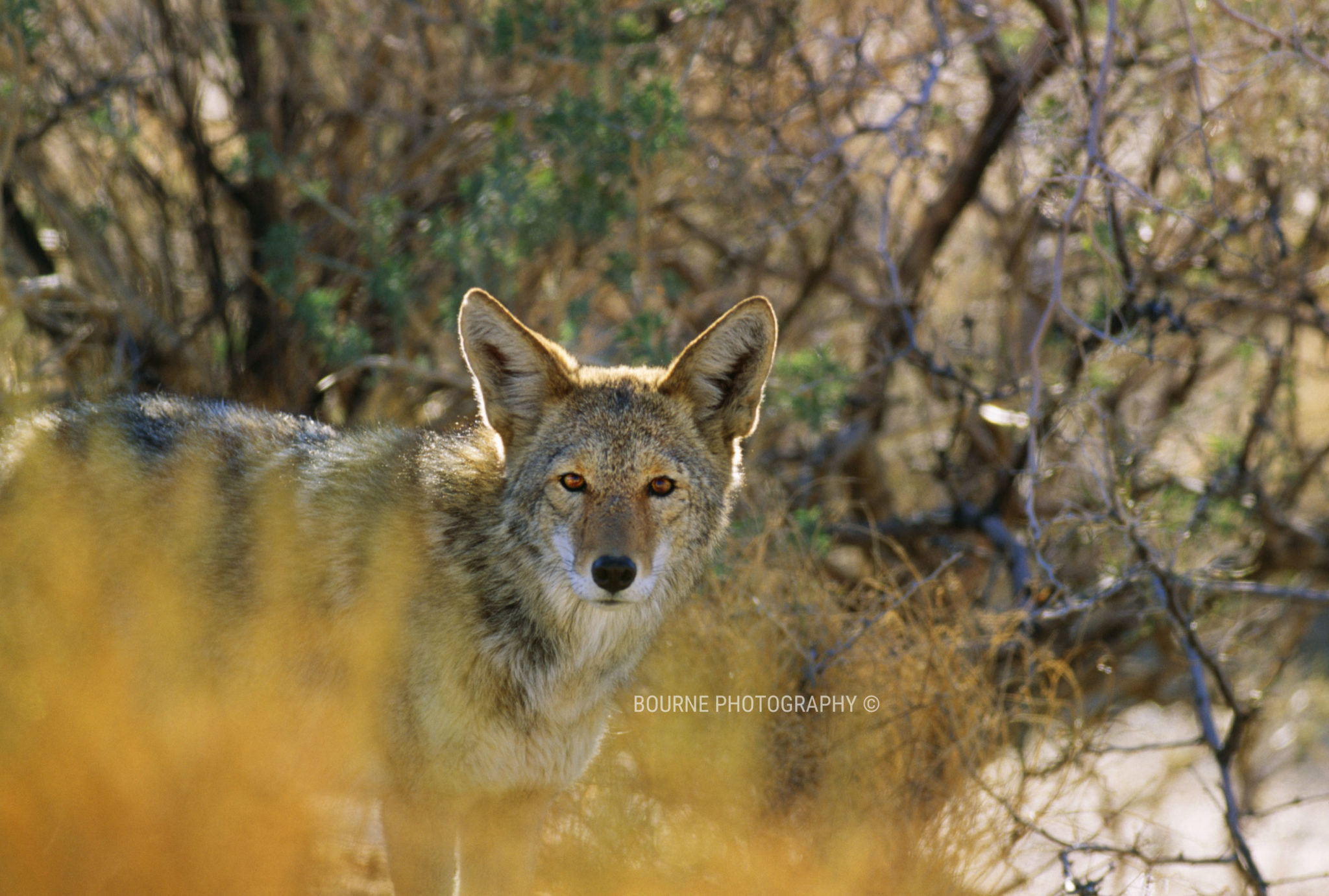 Coyote in Sedona Canyon