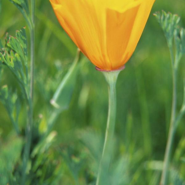 Single flower poppy bloom california