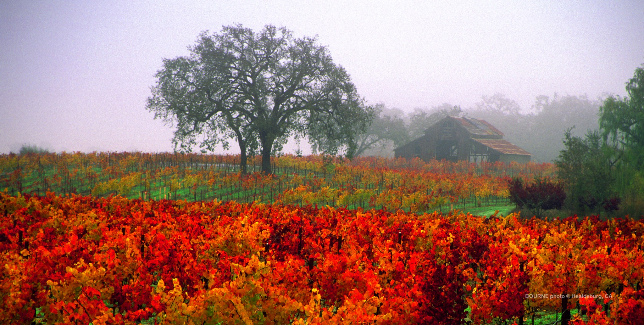 vineyard,autumn vineyard,barn,healdsburg barns