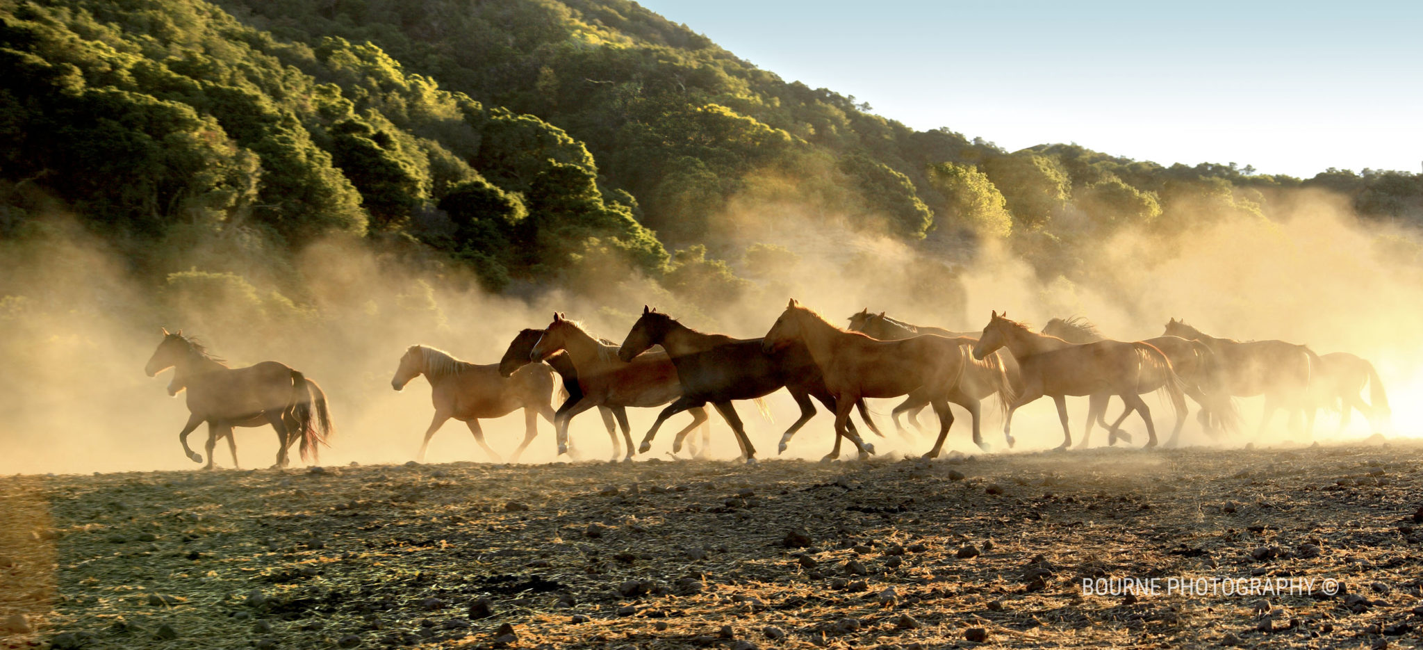 Band of wild horses running through the dust