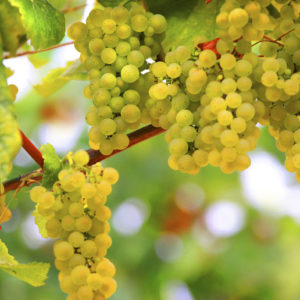 White Grape Cluster on the Vine