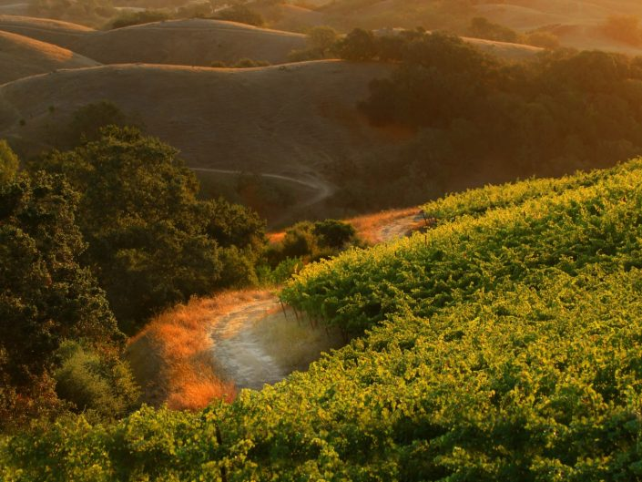 golden light on vineyard path