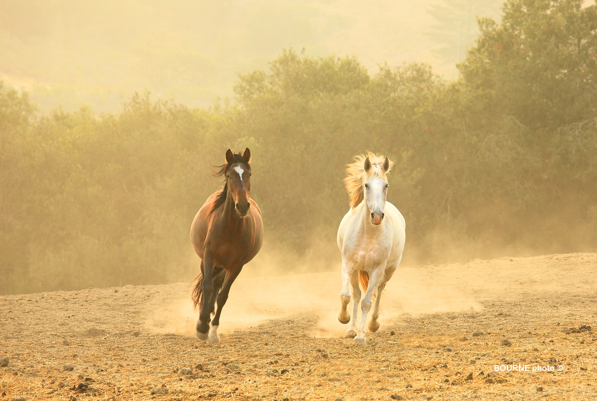Wild Rescued Mustangs Running