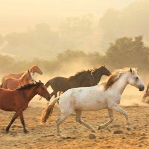 Wild, running horses,band of wild horses, california wild horses run free