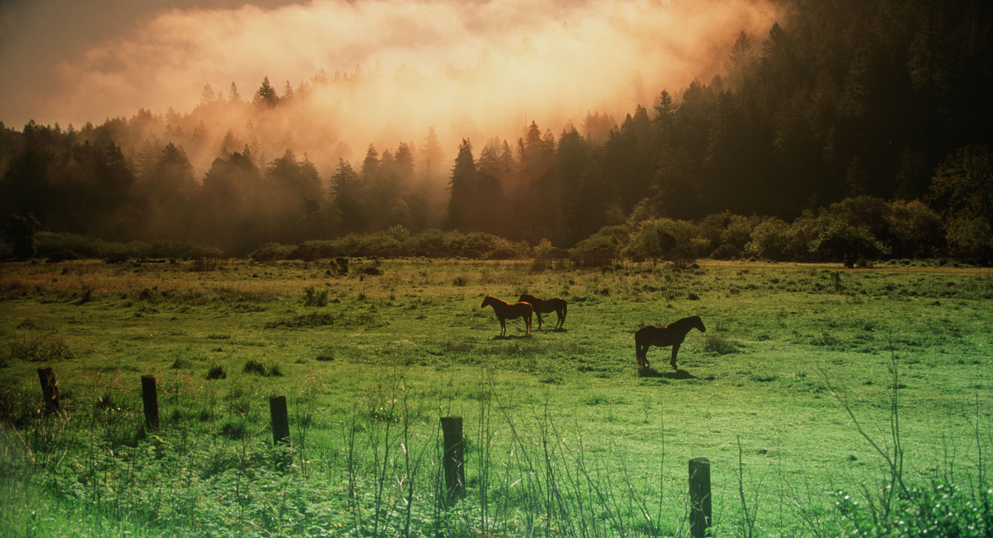 Landscape,guerneville,pasture with horses in the pines