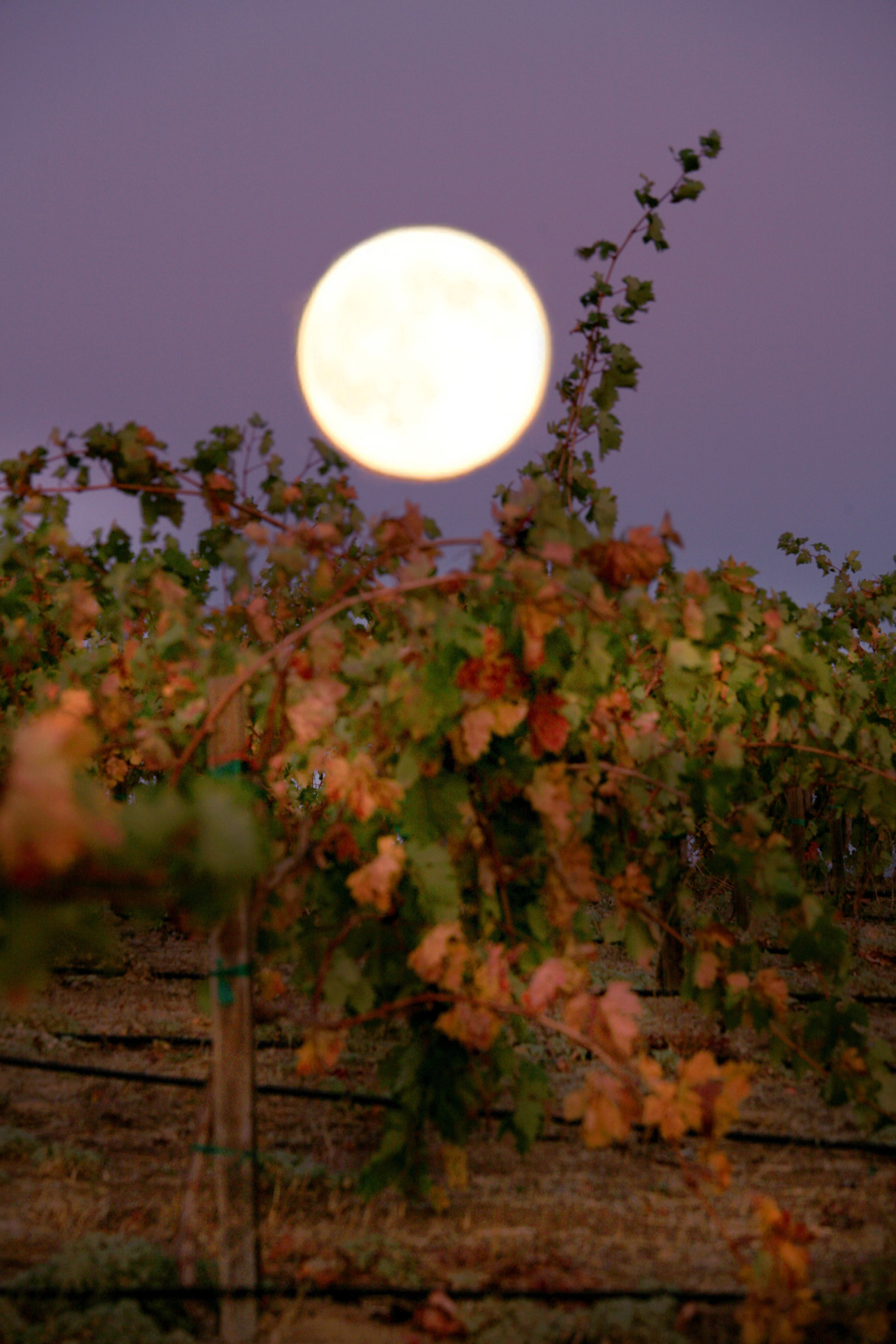 moonrise over autumn vineyards