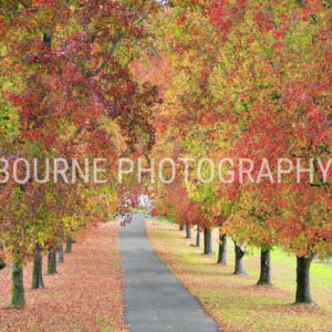 Two rows of trees with bright red leaves in Autumn, line a pathway.