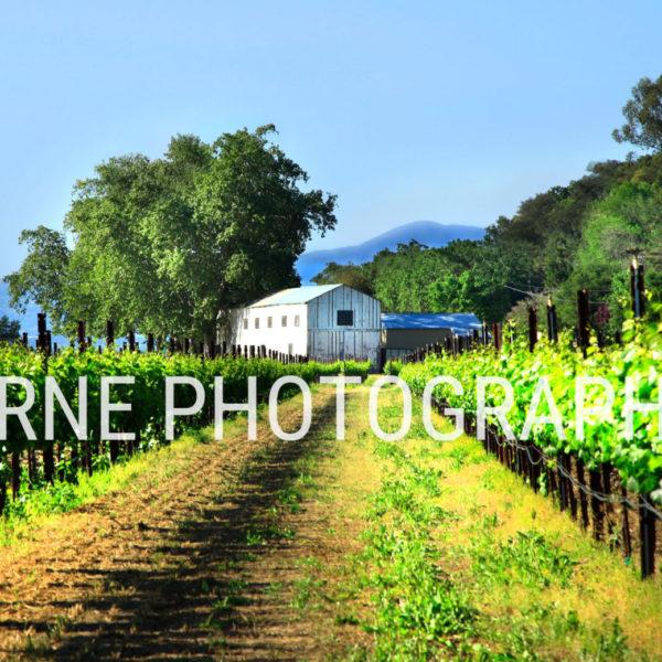 White Barn in Summer Vineyard