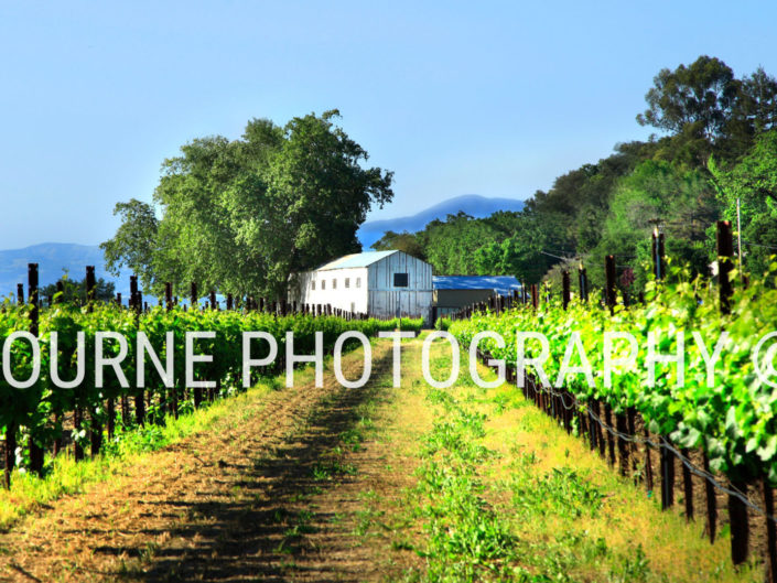 White Barn in Summer Vineyard