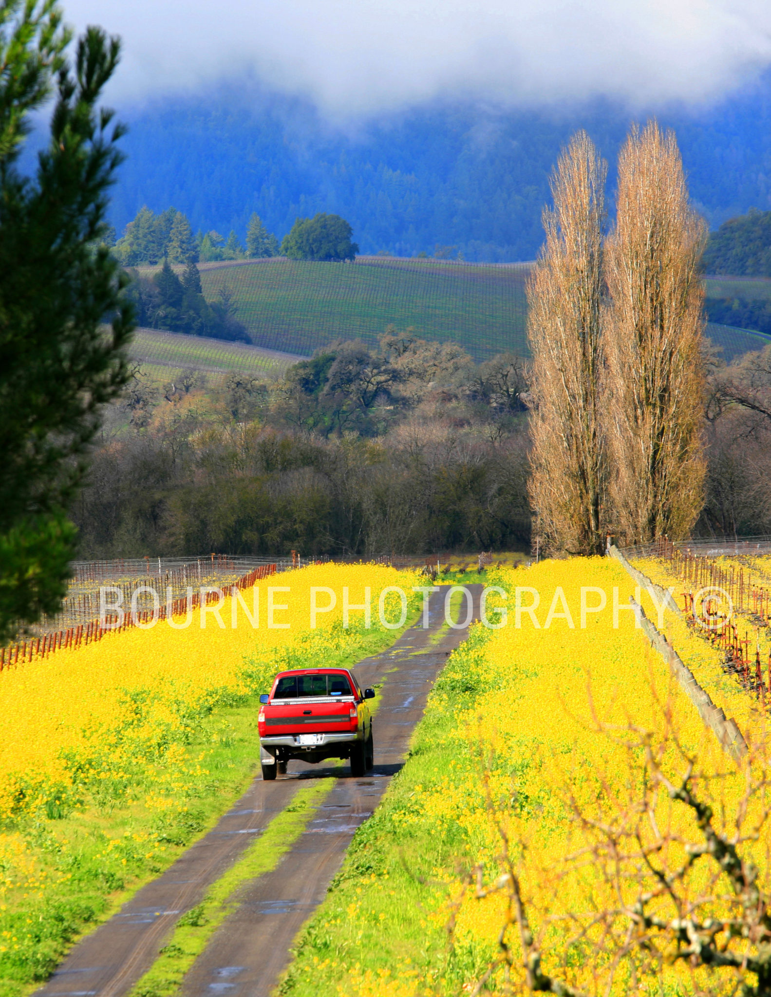 Yellow Mustard and Red Pickup 101