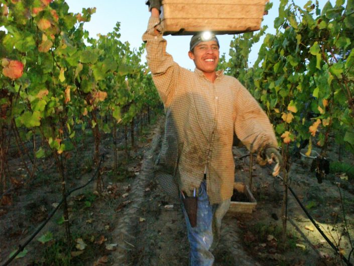 Grape harvest in the vineyard