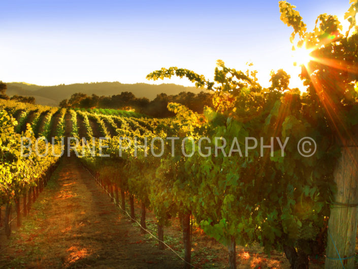 Summer Vineyard Healdsburg