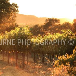 Summer Vineyard Healdsburg CA