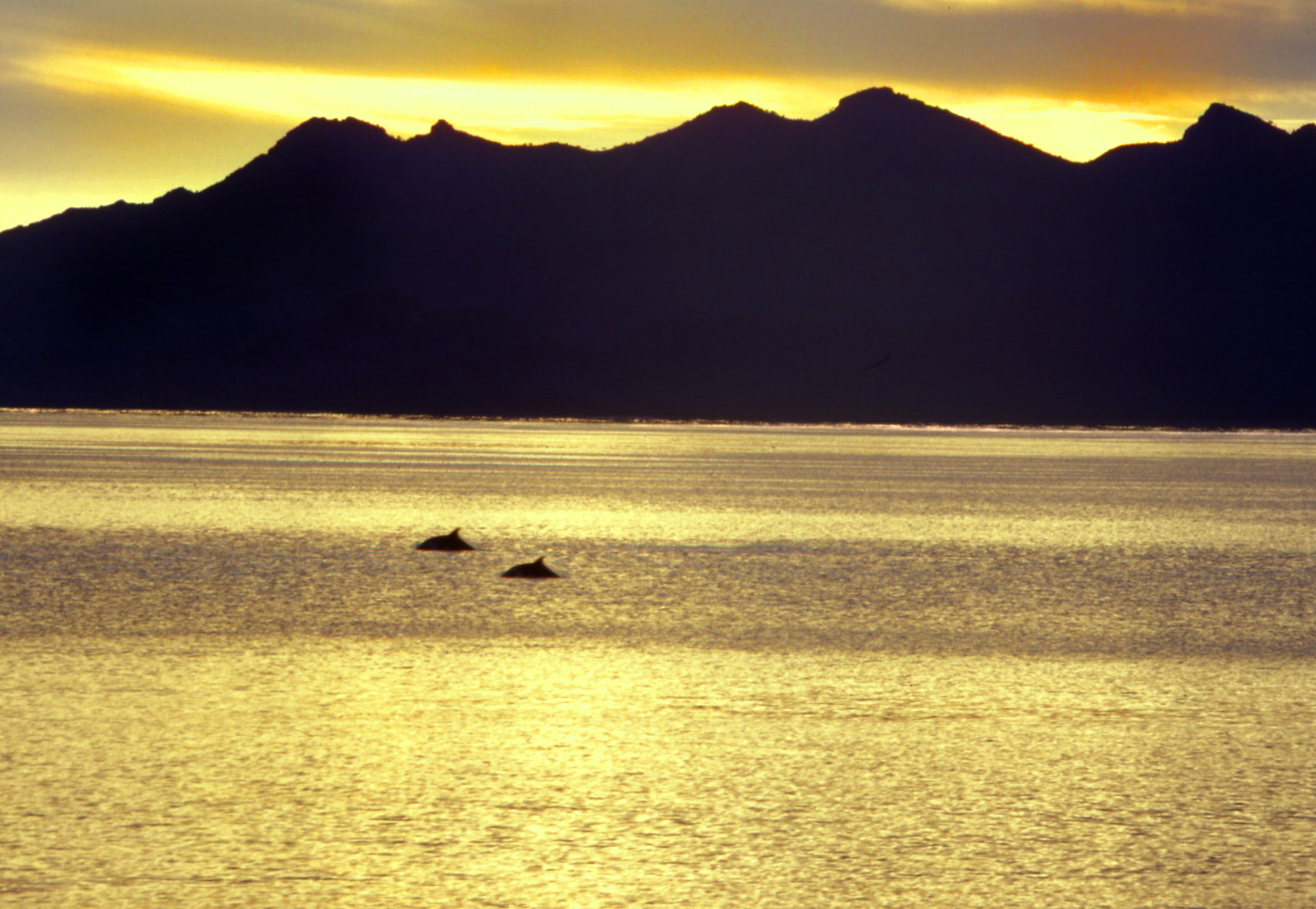 golden light on 2 dolphins swimming