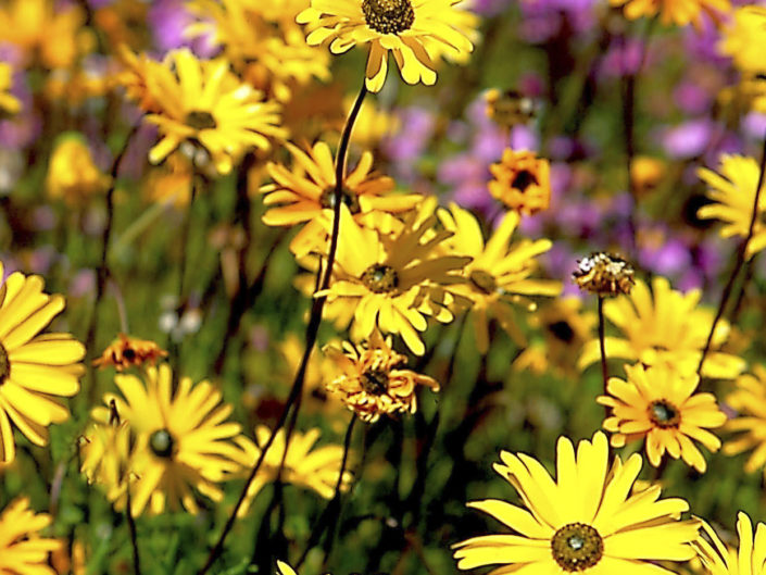 Flowers Yellow Daisies