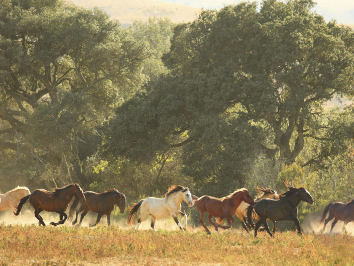 band of horses,wild mustangs, california band of horses