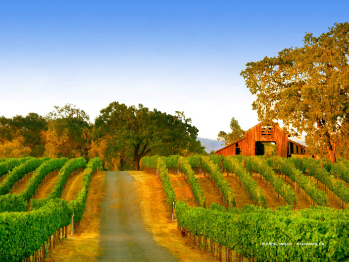 red barn in summer vineyards