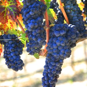 Ripe and red grapes on the vine