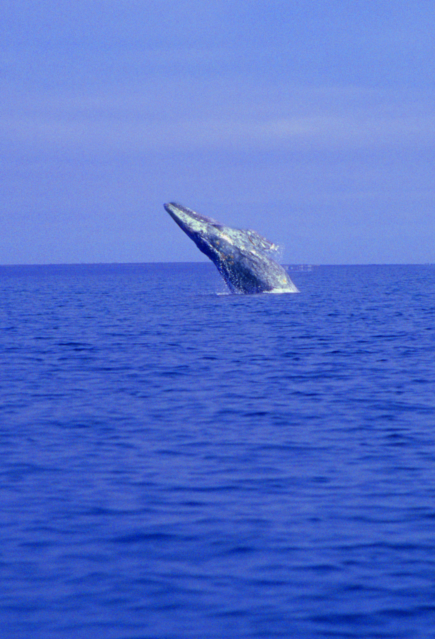 breaching whale,Whale breaching in the blue water of the Sea of Cortez in Baja Mexico.