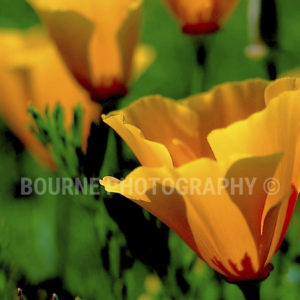 California Poppies, Flower Poppy