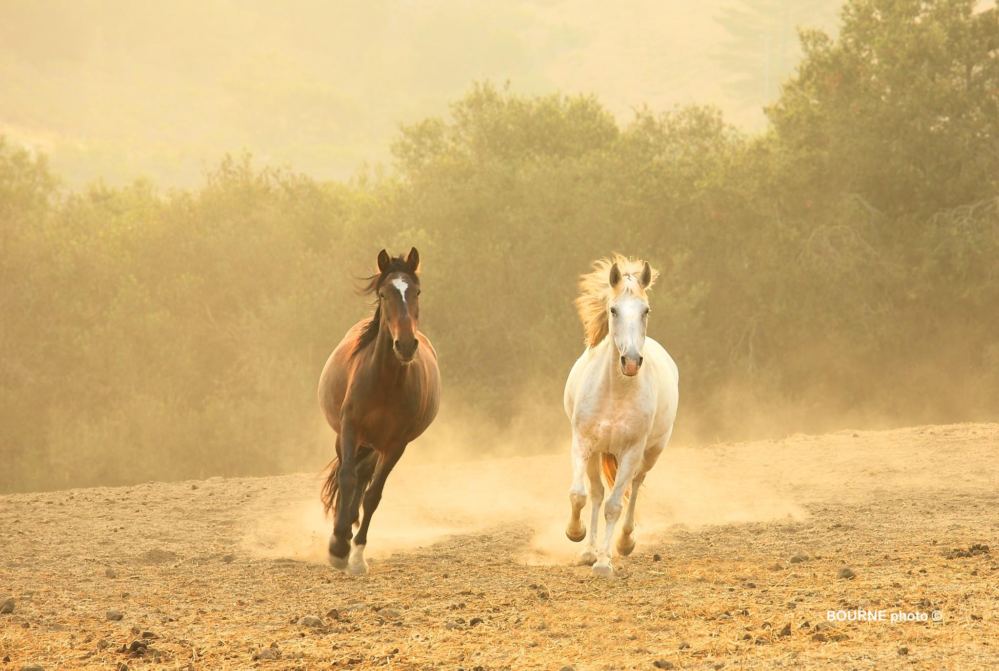 Wild Rescued Mustangs Running