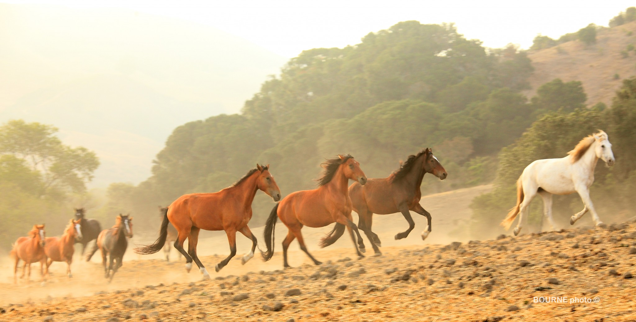 Wild Horses Running,bands of horses