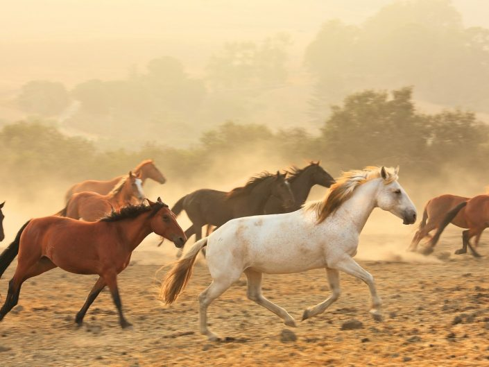 Wild, running horses,band of wild horses, california wild horses run free
