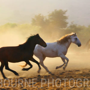 Paired Wild Horses together