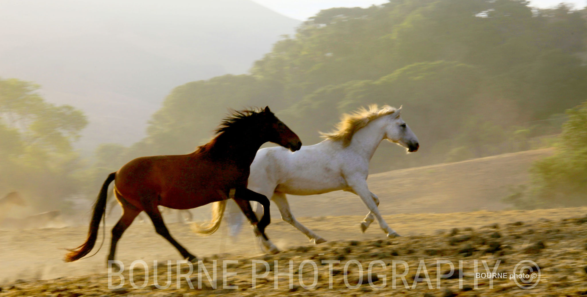 wild Horses running together