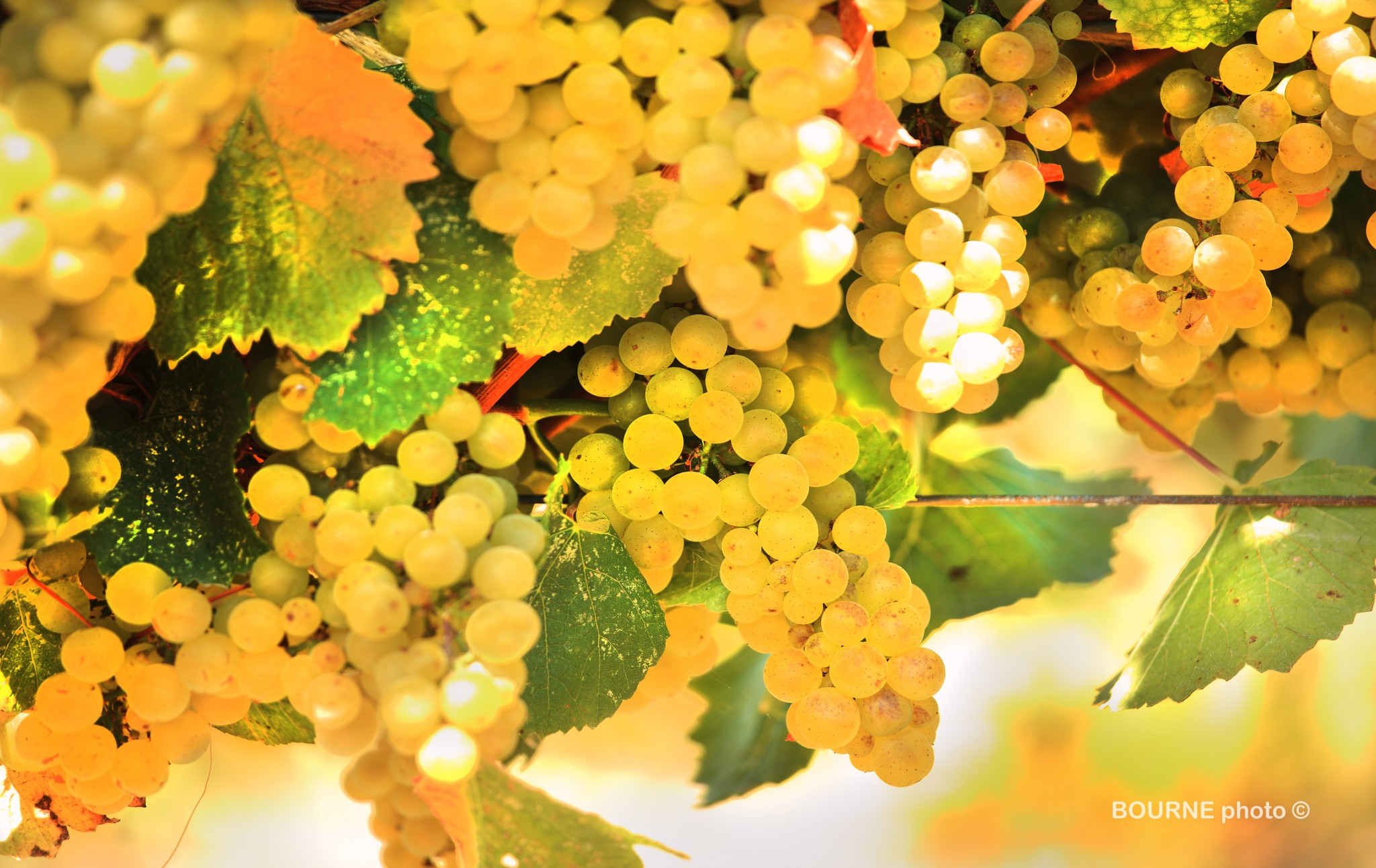 Close up grapes on the vine, white grapes