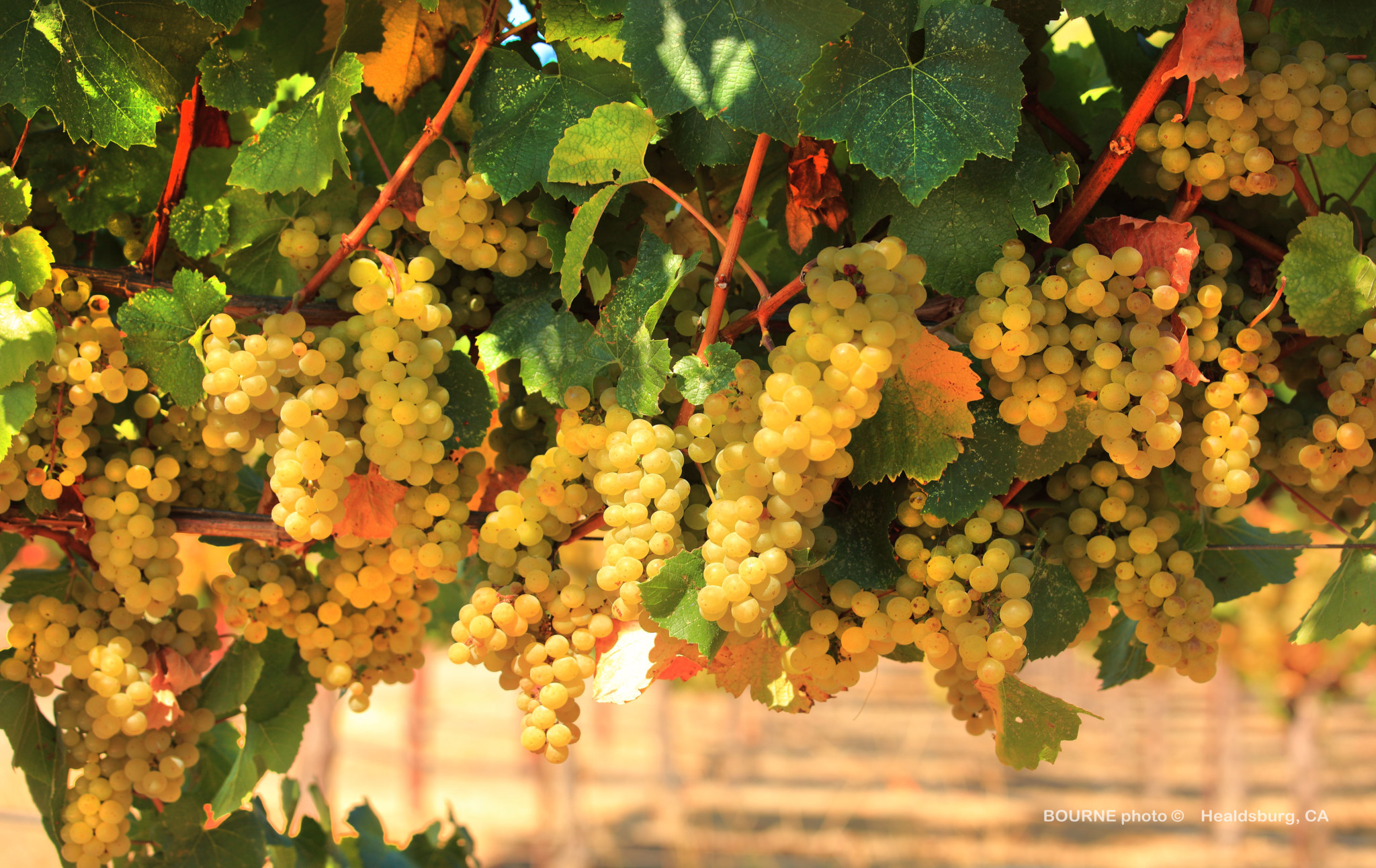 clusters of ripe white grapes