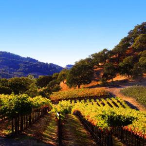 Landscape, Healdsburg Vineyard, Summer Vineyard