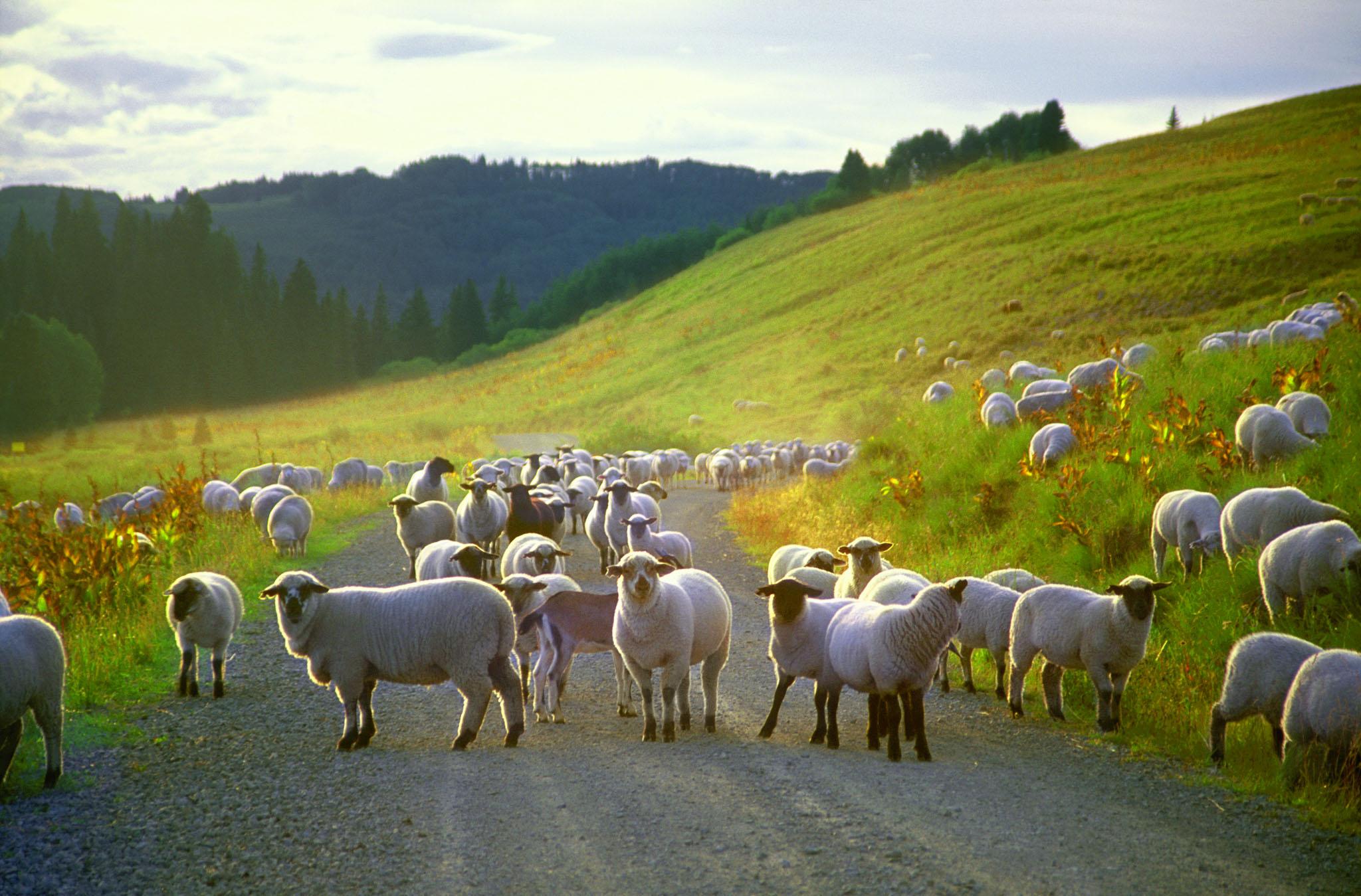 Landscape,sheep on mountainside,