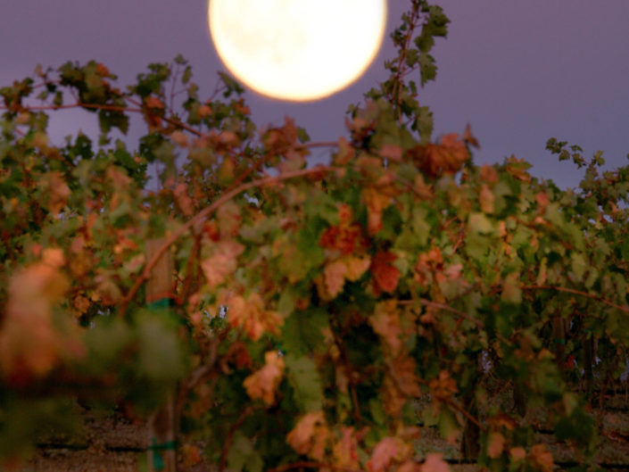 moonrise over autumn vineyards