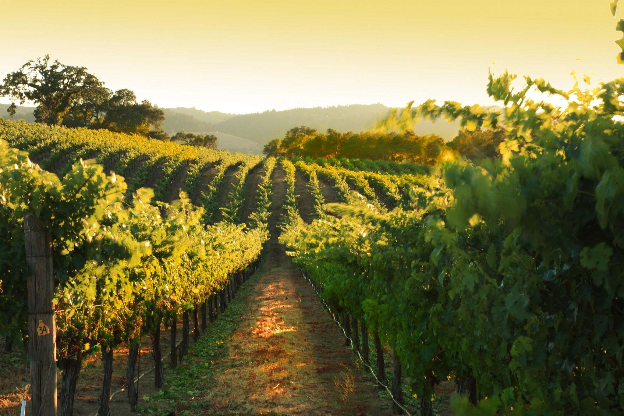 Healdsburg Vineyard Summer