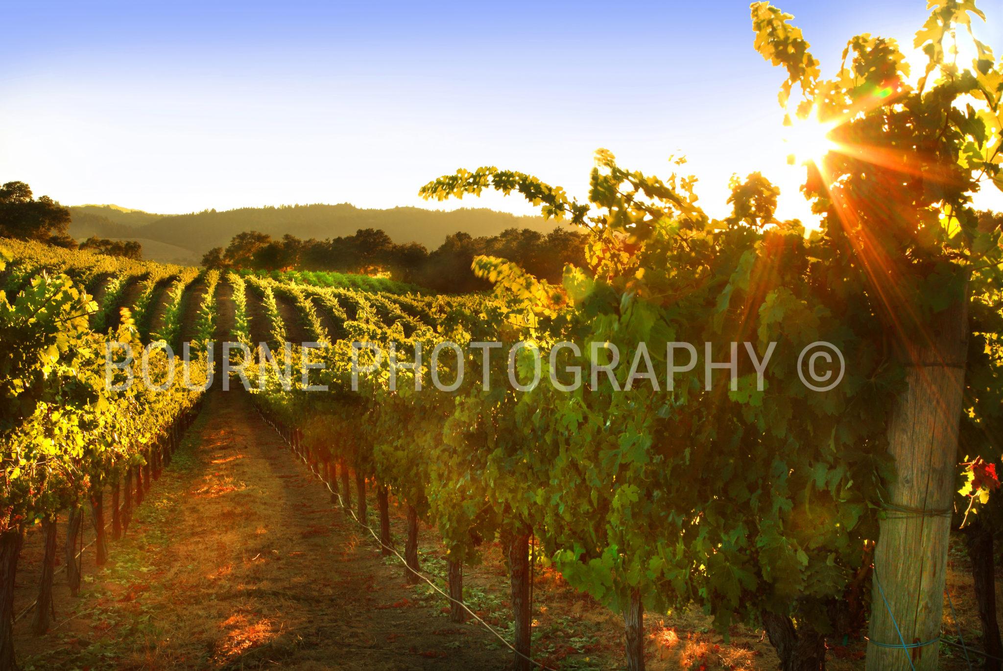 Summer Vineyard Healdsburg