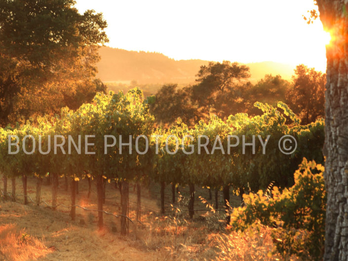 Summer Vineyard Healdsburg CA