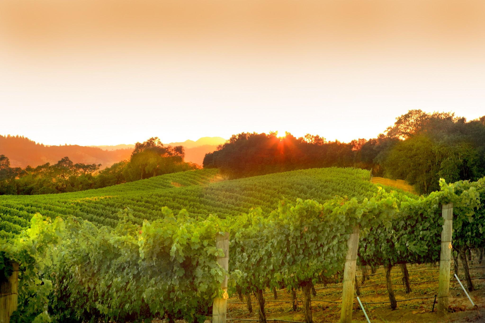 Sunsets, healdsburg vineyard