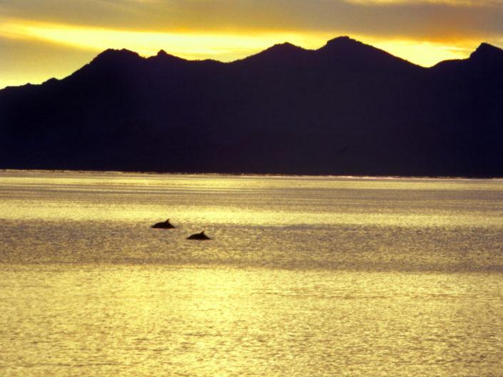 golden light on 2 dolphins swimming