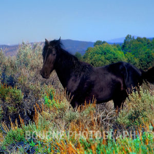 Wild Baby Mustang, El Nino National Forest, CA
